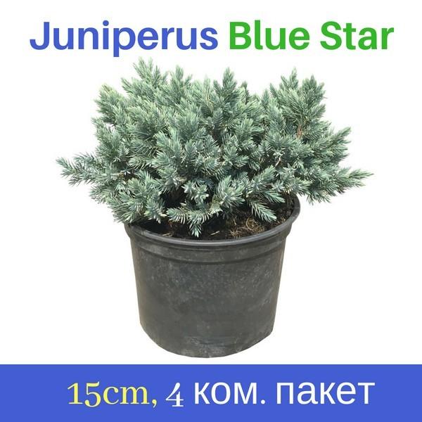 Juniperus Blue Star - 15cm саксијско производство - 4 парчиња