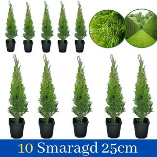 Tuja Smaragd 30cm 10 komada