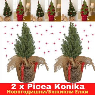Picea Conica novogodisni bozikni elki